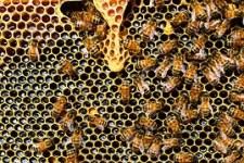 queen-cup-bees